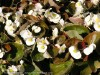 Begonia Semperflorens (White)