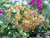 Bougainvillea Spectabilis (Orange)