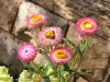 Bracteantha Bracteata (Pink-White-Orange)