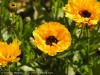 Calendula Officinalis (Orange) (2)