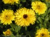 Calendula Officinalis (Yellow)
