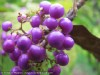 Callicarpa (Japanese Beautyberry) (Purple)