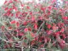 Callistemon Citrinus (Red)