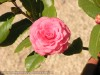 Camellia Japonica Pink Pagoda