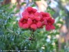 Campsis Radicans (Red)