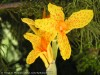 Canna Indica (Yellow-Orange) (1)