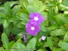 Catharantus Roseus (Purple) (1)