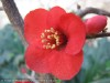 Chaenomeles Japonica (Red)