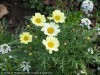 Chrysanthemum Frutescens (Yellow)