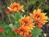 Chrysanthemum (Orange) (3)