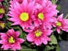 Chrysanthemum (Pink) (2)