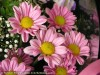 Chrysanthemum (Pink) (3)