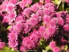 Chrysanthemum (Pink) (5)
