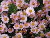 Chrysanthemum (Pink) (6)