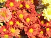 Chrysanthemum (Red-Yellow) (2)