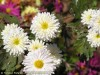 Chrysanthemum (White) (2)