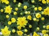 Chrysanthemum (Yellow) (3)