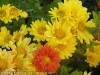 Chrysanthemum (Yellow) (5)