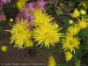 Chrysanthemum (Yellow) (6)