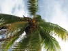 Coconut Tree (2)