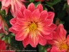 Dahlia Pinnata (Red-Yellow)
