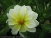 Dahlia Pinnata (White-Yellow)