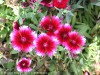 Dianthus Chinensis (Red-Pink-White)