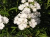 Dianthus Chinensis (White)