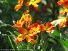 Erysimum Cheiri (Orange-Red)