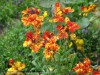 Erysimum Cheiri (Red-Yellow)