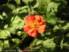 Geum Chiloense (Red)