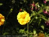 Geum Chiloense (Yellow)