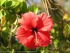 Hibiscus (Red) (2)