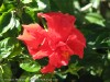 Hibiscus (Red) (3)