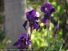 Iris Germanica (Purple) (1)