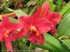 Laeliocattleya (Red)