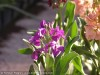 Matthiola Incana (Purple)
