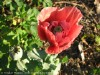 Papaver Somniferum (Red)