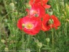 Papaver (Red-White) (1)