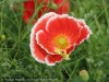Papaver (Red-White) (2)