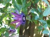 Passiflora Star of Clevedon