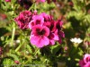 Pelargonium Domesticum (Purple-Black) (1)