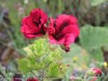 Pelargonium Domesticum (Purple-Black) (2)