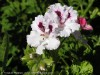 Pelargonium Domesticum (White-Purple) (1)