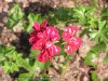 Pelargonium Peltataum (Red-White)