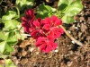Pelargonium Peltataum (Red) (2)