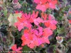 Pelargonium Stellar (Red)