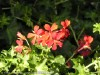 Pelargonium Villa (Red) (1)