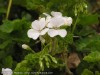 Pelargonium Zonale (White)