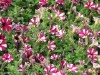 Petunia Mini (Purple-White)